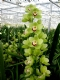 limones is een mid bloeiende groene cymbidium-cultivar